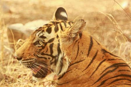 tigresa: Cierre hasta una tigresa Foto de archivo