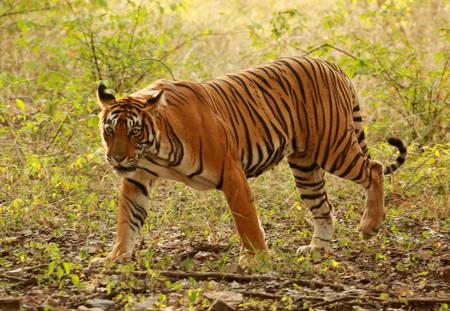 tigresa: Noor the Tigress