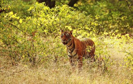 tigress: Queen Noor