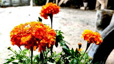 marigold flower in focus with blur background