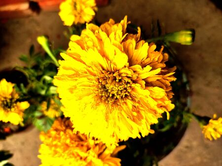 marigold flower in focus with blur background