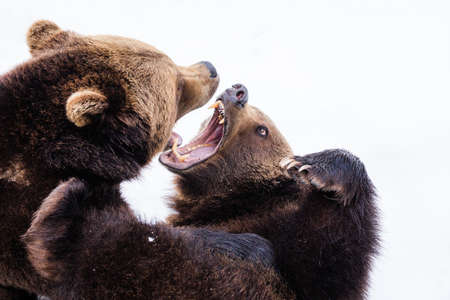 Close up shot of dangerous & aggressive brown bear fight each-other.