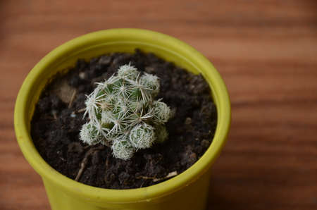 the beautiful cactus plant seedlings in the small yellow pot.
