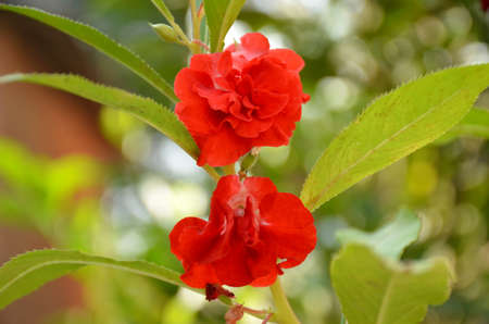 the beautiful red color flower with leaves in the garden.