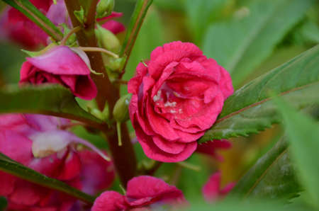 the beautiful pink color flower with leaves in the garden.