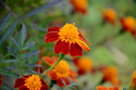 the red yellow marigold flower with leaves in the garden.