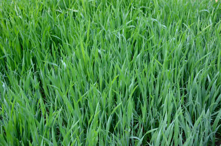 bunch the green ripe grain plant growing in the farm.