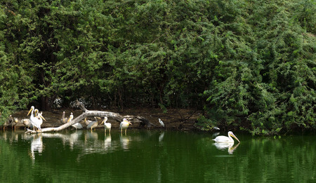 Group of Pelican swimming in a lake