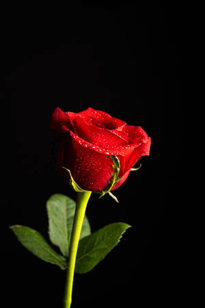 Isolated red rose on a black background. Concept of Valentine's Day, anniversary or mother's day.