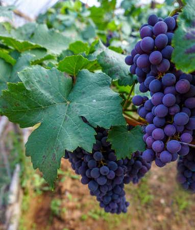 Black grape on the farm