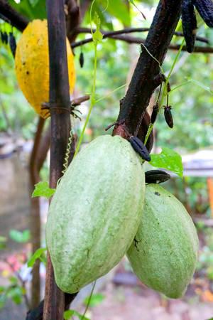 Theobroma cacao Stock Photo