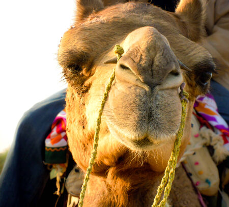 judging: Closeup of a camel face with a funny judging or skeptical expression