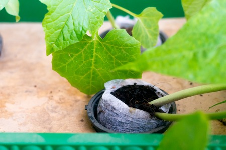 Hydroponic plant growing in coco coir net pot