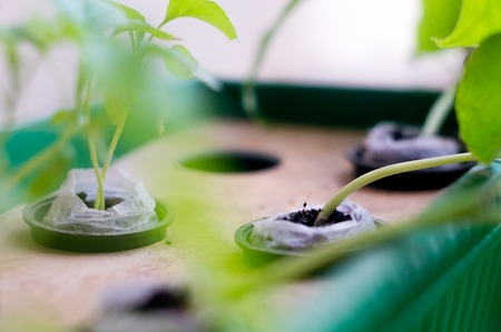 Hydroponically grown plants Stock Photo