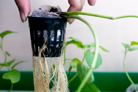 Person holding up the roots of hydroponic plant in net pot