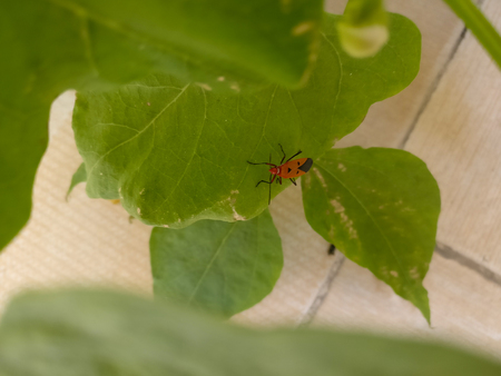 Red and black insect on hydroponics plant Stock Photo