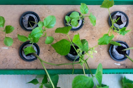 six plants growing in net pots and coco coir hydroponics system Stock Photo