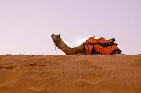 Camel sitting on top of a sand dune Stock Photo