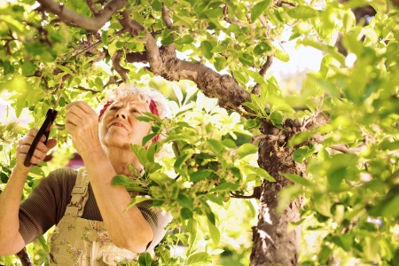 working woman: Senior woman cutting dried buds from the tree Stock Photo