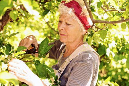 elder tree: Old woman pruning tree in yard - Senior woman gardening in backyard