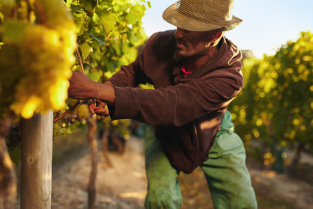 Farmer picking up the grapes during harvesting time. Young man harvesting grapes in vineyard. Worker cutting grapes by hands.