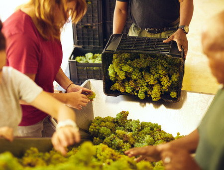conveyer: Man unloading grapes from a crate on conveyor. Workers sorting  grapes on conveyer belt before pressing. Stock Photo