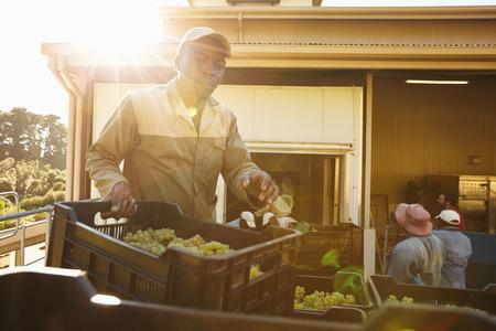 obrero trabajando: Hombre de descarga caja llena de uvas en la fábrica de vino después de la cosecha. Trabajador Vineyard trabajar en la bodega.