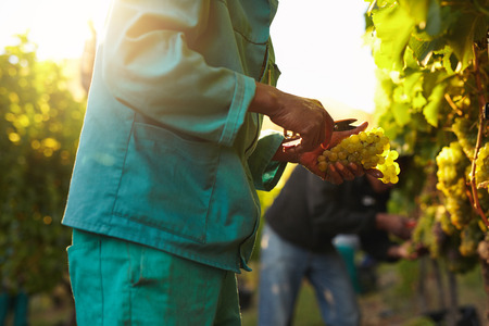 Workers working in vineyard cutting grapes from vines. People picking grapes during wine harvest in vineyard. Focus on hands of the worker. Stockfoto