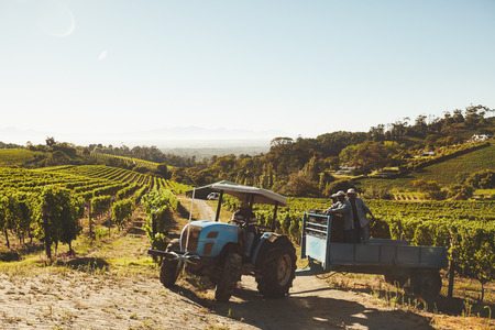 транспорт: Виноградник работники, перевозящие свежий урожай на винзаводе через тракторный прицеп. Виноградный Подборщик транспортировки винограда из виноградника вина производителя. Фото со стока