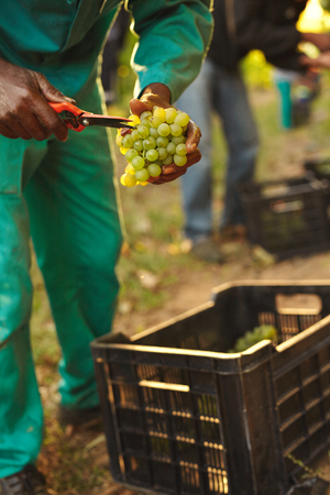 wineries: Harvester hands cutting green grapes on a vineyard. Farmer picking up the best quality grapes during harvesting.