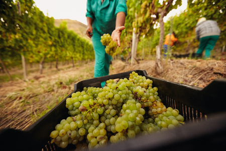 bunch of grapes: Farm worker filling basket of green grapes in the vineyards during the grape harvest. Woman putting grapes into the plastic crate. Focus on grapes in container.