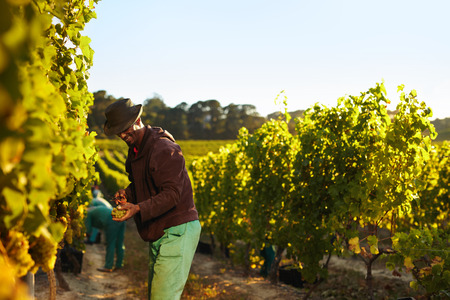 grape field: People working in vineyard. Workers harvesting grapes from rows of vines in grape farm. Stock Photo