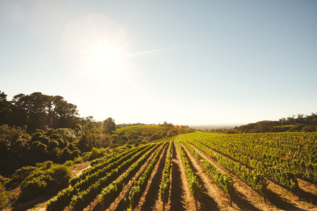 grape field: Vineyard field with grape vines in a row. Grape cultivation for winery. Grape farming for the winemaking industry. Stock Photo