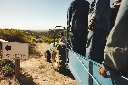 vine: Shot of people in tractor wagon transporting harvested grapes to winery. Transporting grapes from vineyard to wine manufacturer Stock Photo
