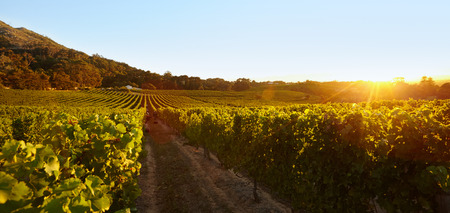 Rows of vines bearing fruit in vineyard. Field of grape vines under clear blue sky during sunset.