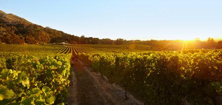 harvest field: Rows of vines bearing fruit in vineyard. Field of grape vines under clear blue sky during sunset.