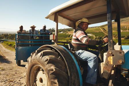 uvas: Hombre africano conducir un tractor con uvas cosechadas. Trabajador Viñedo de tomar las uvas al fabricante de vinos. La entrega de las uvas de la granja a la fábrica de vino para hacer el vino.