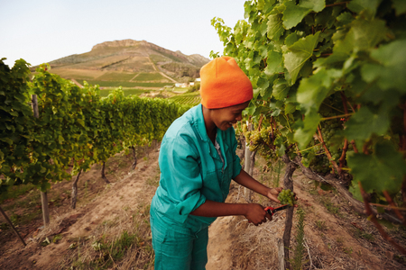 picker: Woman in vineyard picking grape. Picker harvesting grapes on the vine. Stock Photo