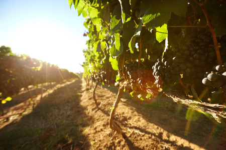 farm field: Black grapes on vines with bright sunlight on a summer day. Rows of vines bearing fruit in vineyard with sun flare.