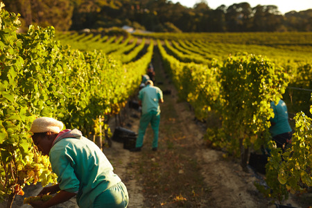 farm worker: Grape pickers working in field of grape vines. Farm workers harvesting grapes in vineyard for making wine. Stock Photo
