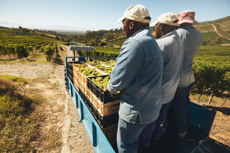 farm worker: Grapes boxes being delivered from the vineyard to wine manufacturer on a tractor trailer with farmers. Transporting grapes from grape farm to  wine factory.
