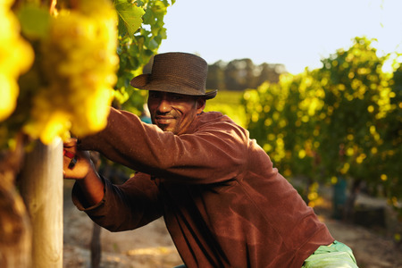 happy african: Portrait of african vineyard worker wearing hat working in vineyard. Man cutting grapes in the vineyard. African man wearing hat looking at camera smiling in grape farm.