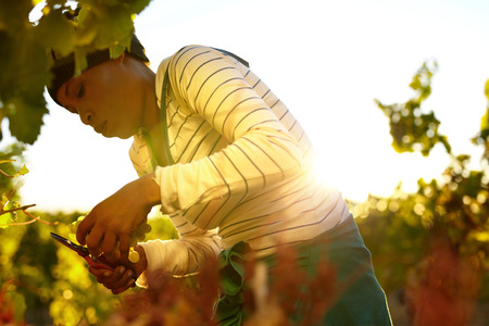 wineries: Young woman cutting green grapes from vine during autumn harvest. Female worker harvesting grapes in vineyard.