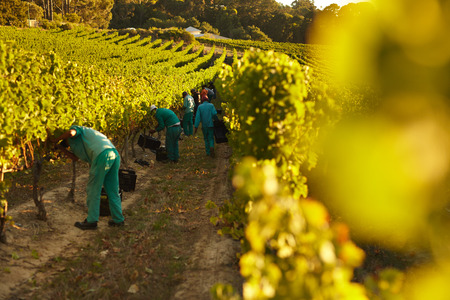 grape vines: People working in vineyard from making wine. Workers harvesting grapes from rows of vines in grape farm.
