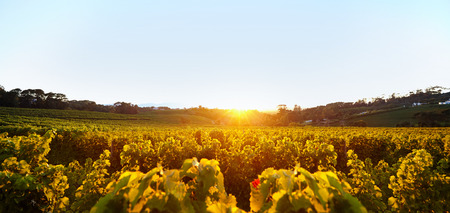 wineries: Beautiful vineyard landscape under clear blue sky during sunset. Grape farming for winery.