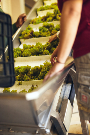 conveyer: Grapes on conveyer belt of a machine in modern winery. Workers hand sorting grapes on a conveyor belt before they head to the crusher.