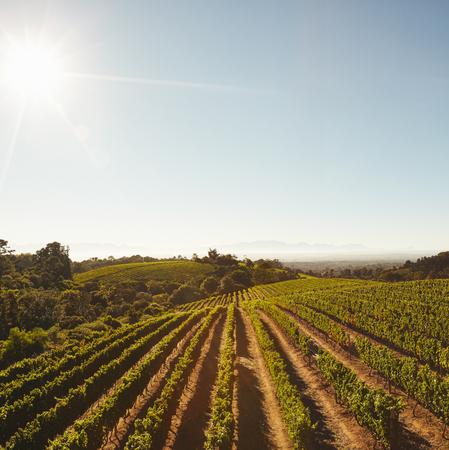 hilera: Campos verdes cultivadas agrícolas con cultivos de uva para la industria vinícola. Vista de las vides de uva en filas en la granja con el cielo azul.