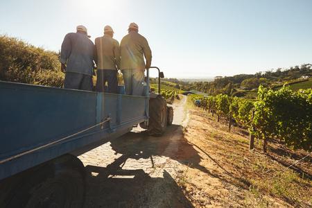 trabajadores: Las personas que viajan en un vagón tractor a través de granjas de uva. Trabajador de la viña en un paseo en carro en la granja.