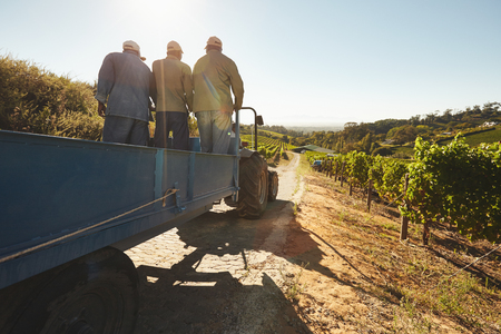 People riding in a tractor wagon through grape farms. Vineyard worker on a wagon ride at farm.