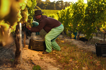 vineyard: Farmer at work during harvesting time in vineyard. Man cutting grapes in the vineyard and putting in a plastic crate. Stock Photo